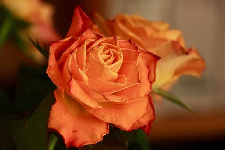 Dunkelorange Rose