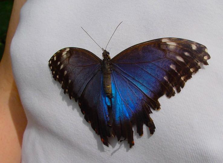 Blue Morpho of Brazil