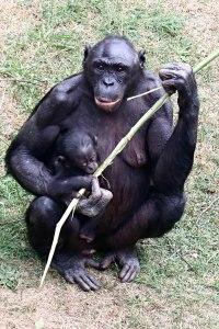 Bonobo mit Kind
